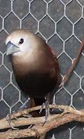 burung emprit atau pipit