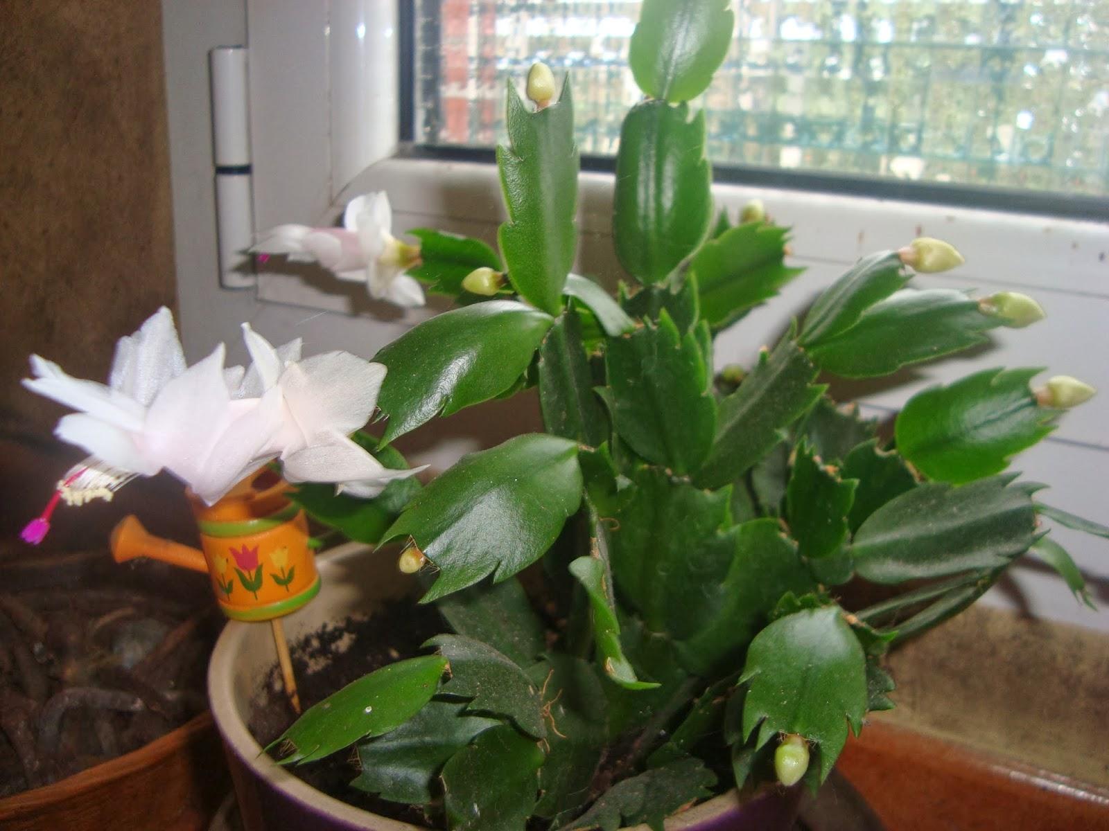 Floresamatxo todo sobre las flores consejos para cuidar for Cactus de navidad