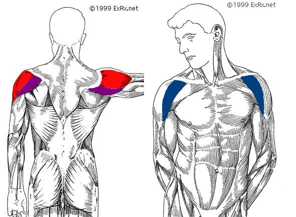 anterior deltoid muscles - photo #11