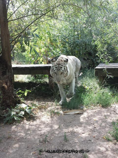 Tigre blanc qui marche vers nous à Touroparc