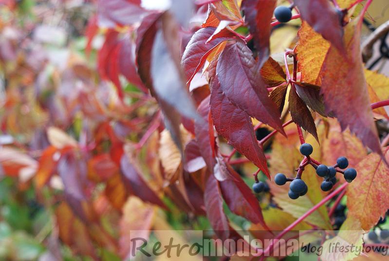 bluszcz jesienią