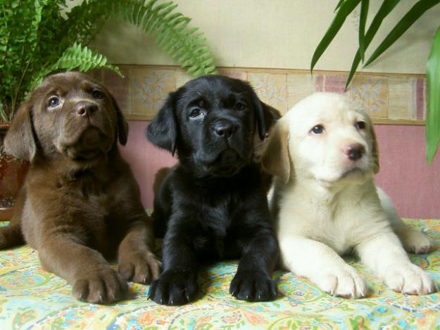Labrador Retrievers puppies