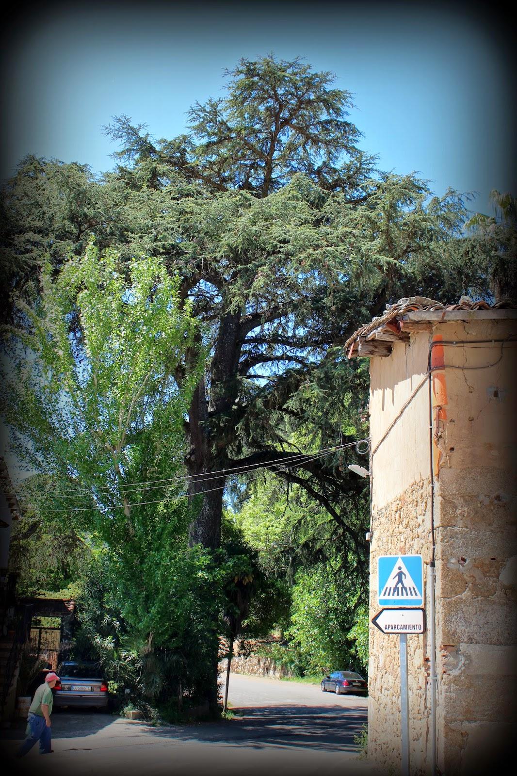 Cedro de Gata (Cáceres)