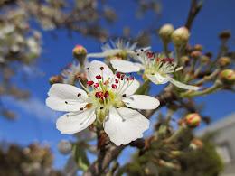 Blossoms, Chania, Crete, March 2015