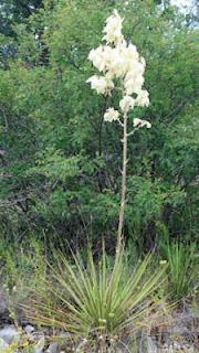 Lisa Stamper Meyer Blooming Yucca Photo