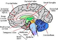 brian owens image human brain diagrams