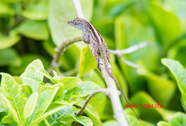 Brown Anole (Norops sagrei)