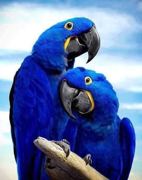 """""""Kobaltowe""""papużki"""