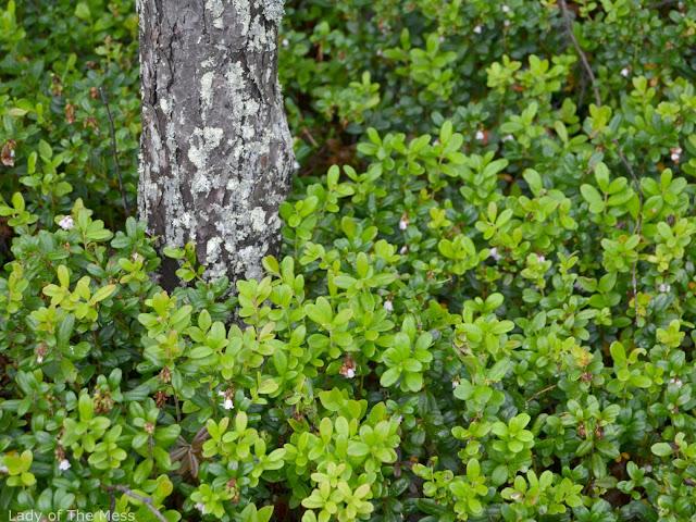 puolukanvarvut, koivu, metsämaisema