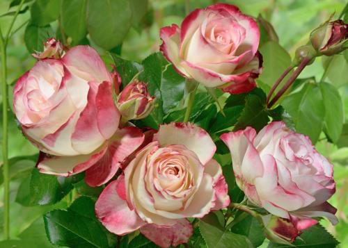 Jubile du Prince de Monaco rose сорт розы фото