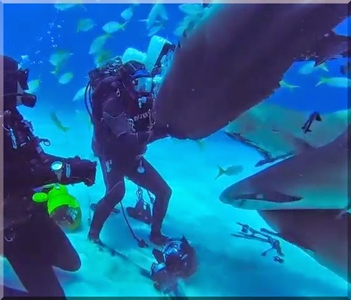Tiger shark Emma at Tiger Beach in the Bahamas gets a rubbing from a scuba diver