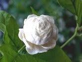 หมึกดอกไม้บนลายอักษร