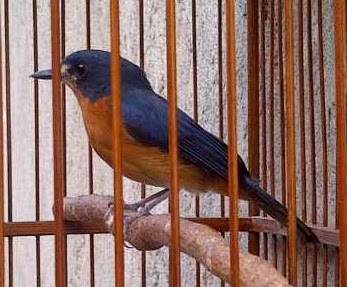dunia burung merawat tledekan bakalan muda hutan