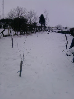 Snow in the orchard.