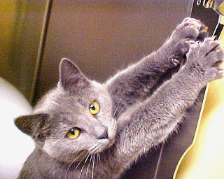 grey cat stretching