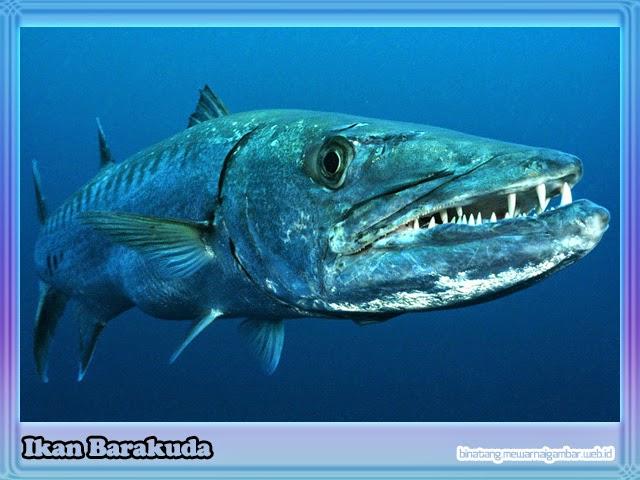 Ikan Barakuda