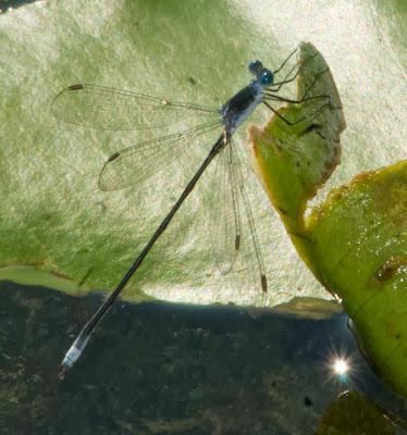 Swamp Spreadwing (Lestes vigilax)