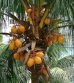 gambar pohon kelapa