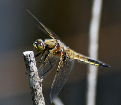 Four-spotted Skimmer (Libellula quadrimaculata)