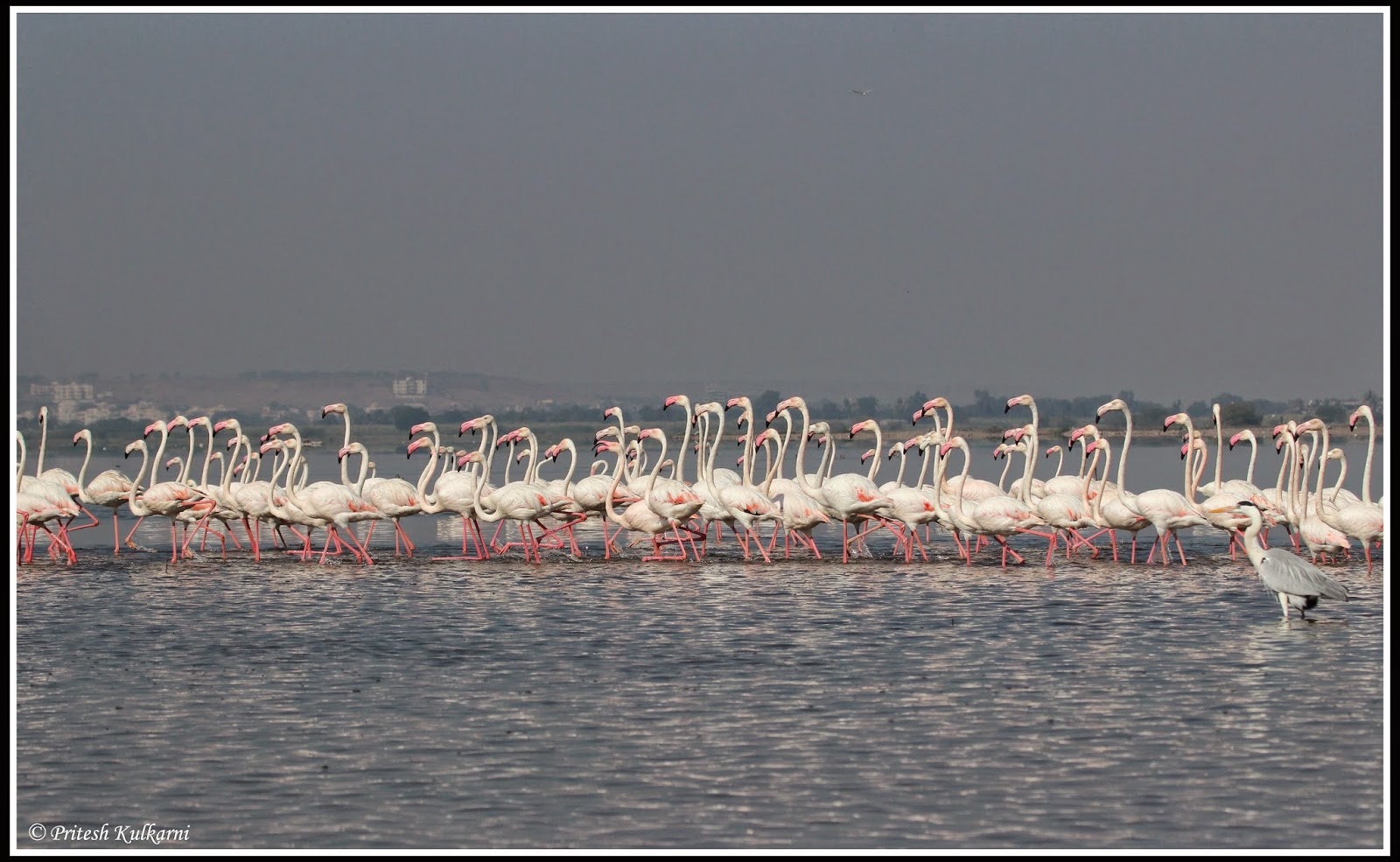 Lots of Greater Flamingo