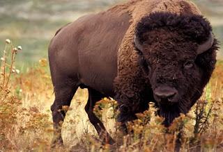 gambar Bison Amerika yang homo-Binatang-Binatang dan hewan Yang Homo di dunia - munsypedia | un1x project
