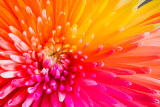 tropical colored chrysanthemum