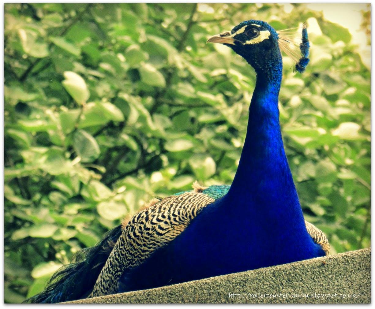 Peacock, Larmer Tree Festival