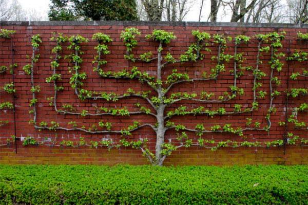 espalier-dicas para jardim-blog copy e paste