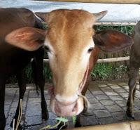 harga hewan kambing dan sapi qurban kurban 13