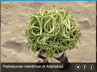 inovLy media : perkebunan mentimun di Allahabad
