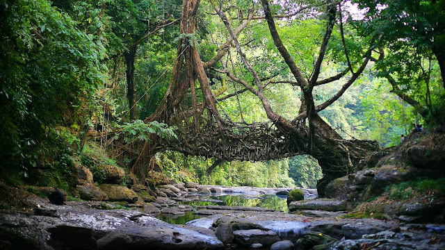 A living bridge in the East Khasi Hills district of Meghalaya, India (© Timothy Allen/Getty Images) 608
