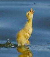 Pato alzando el pico