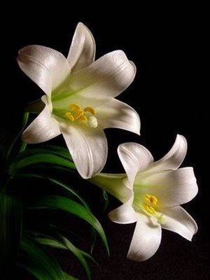 Easter lilies against black background