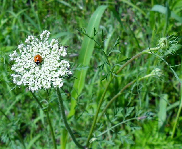 Queen Anne's Lace with Lady Bug at White Rock Lake, Dallas, Texas