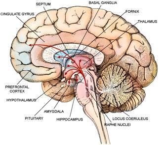 om hjernen