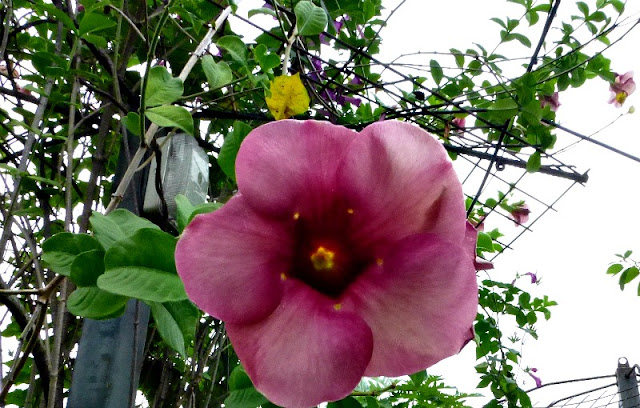 purple-allamanda