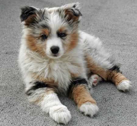 Australian Shepherd Puppy sitting on ground