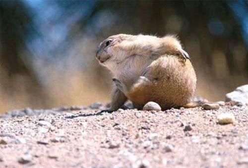 fofo de marmota