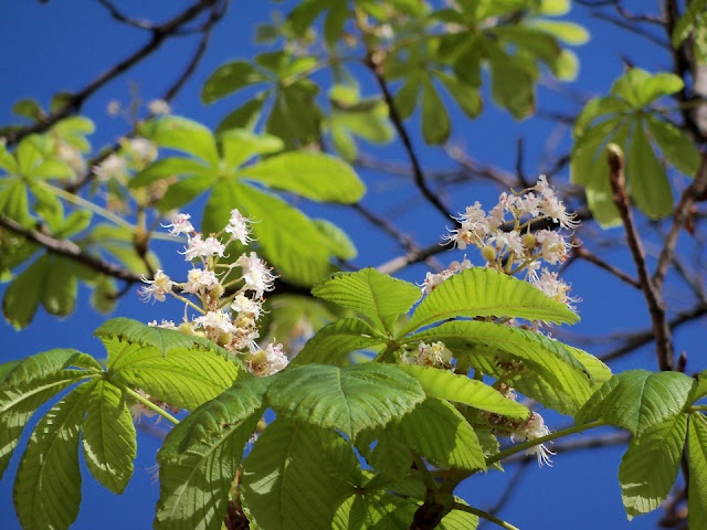 Chestnuts Blossom in a Fall Very Unusual Ternopil Ukraine