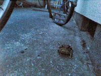 a frog under my bike