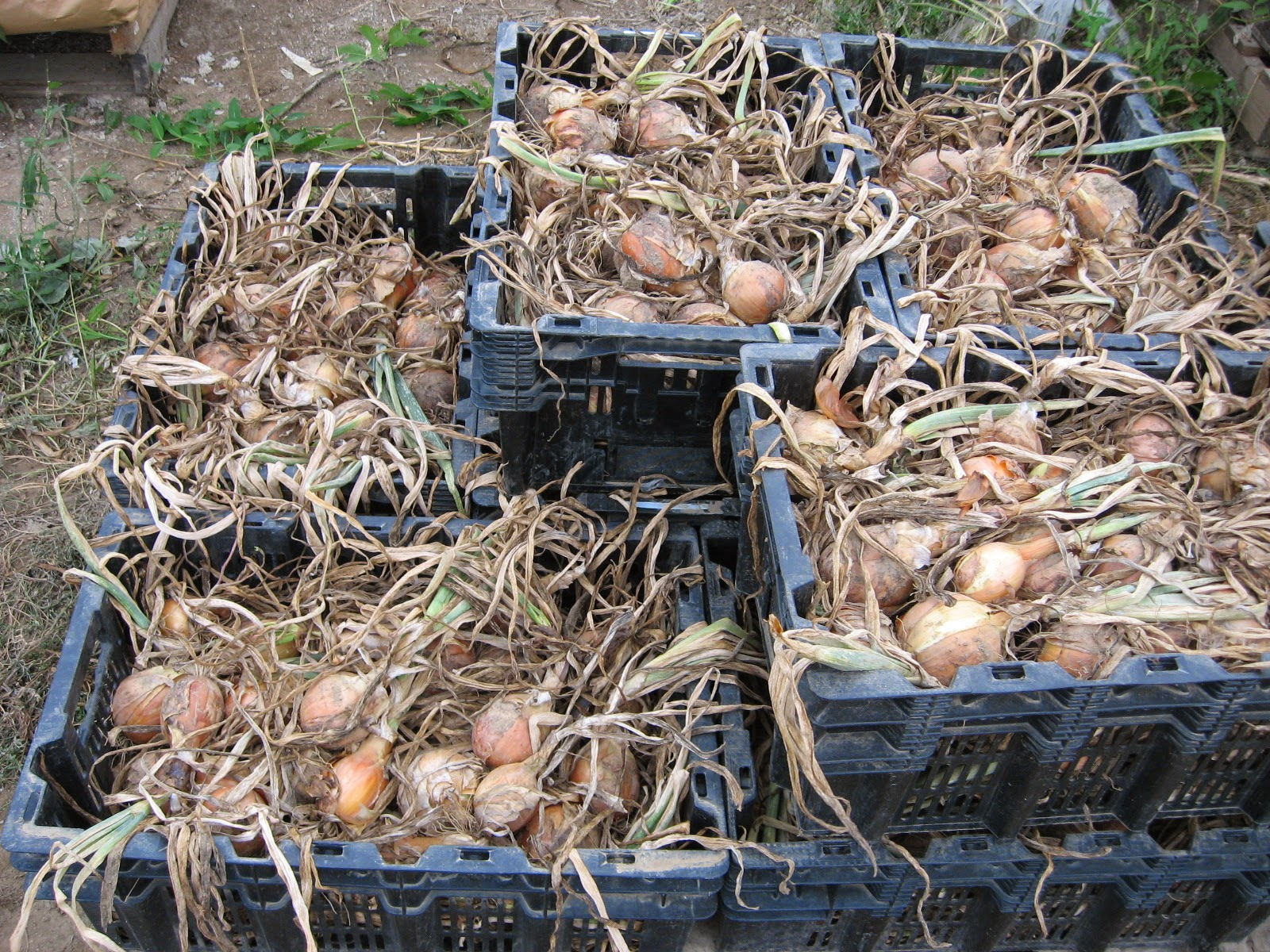 onions being prepared to dry