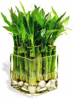 bambu bitkisi