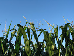The Cattle Corn