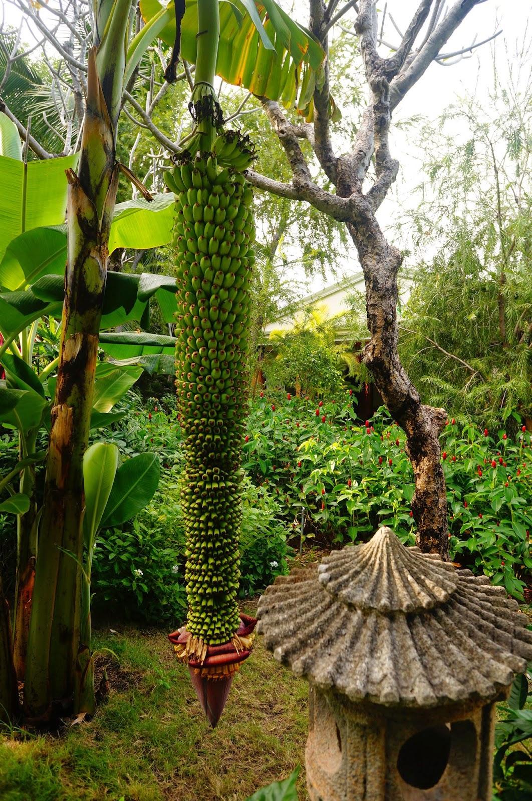 Как-растут-Бананы