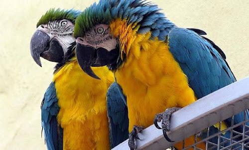 Aves são 'tão inteligentes' quanto primatas, diz pesquisa