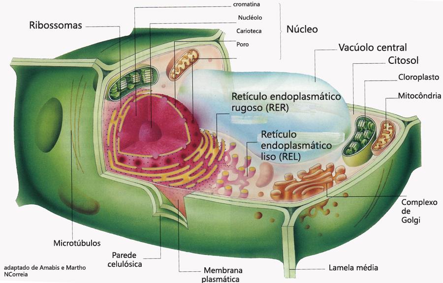 imagenes de celula vegetal. celula vegetal e animal.