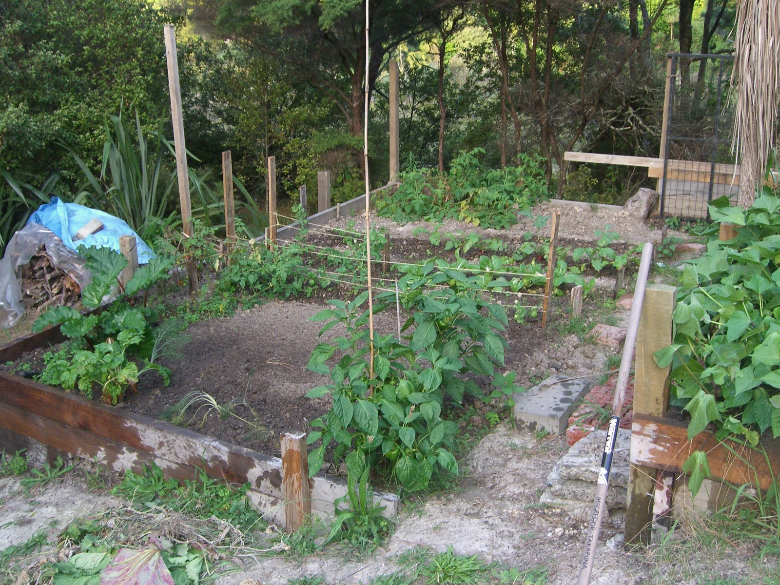 Dave S Garden Capsicums