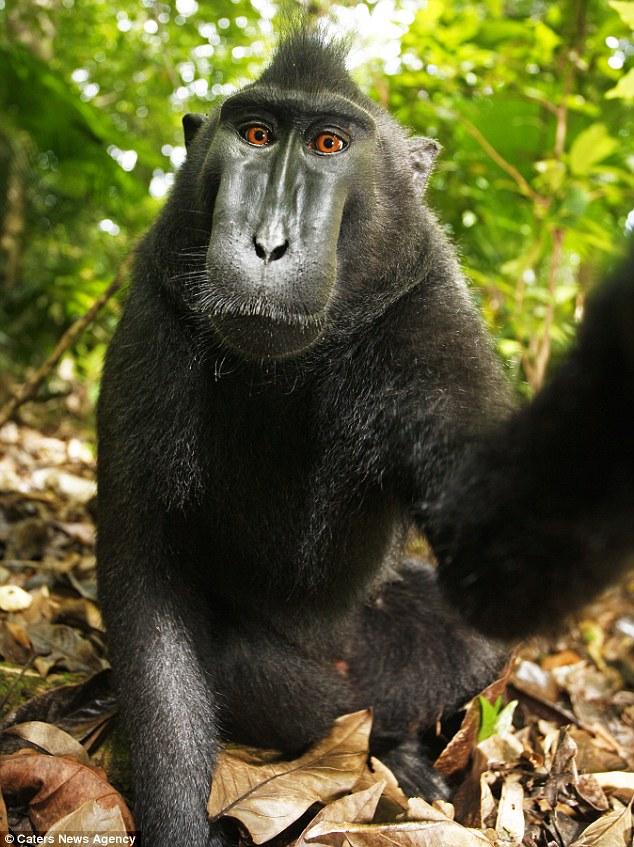 monyet Macaque pinjam kamera untuk tangkap potret sendiri