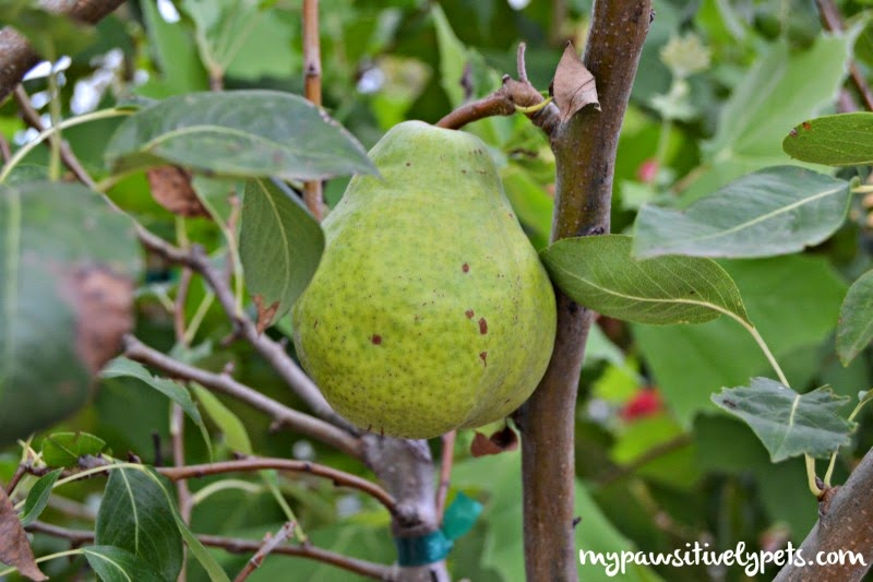 healthy fruit for dogs fruit trees