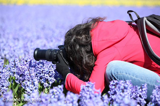 Dutch flower fields 2013